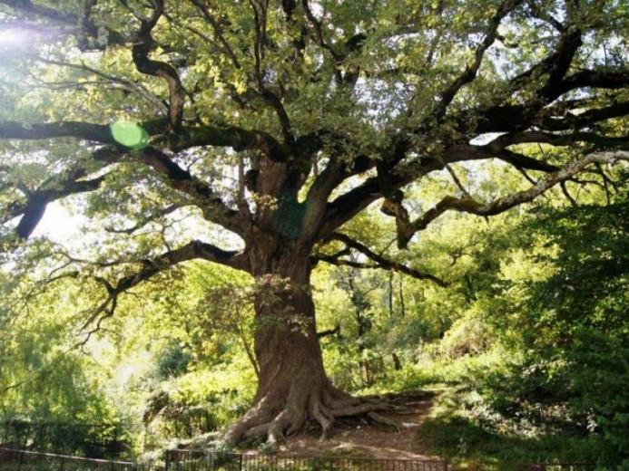 Демидівський дуб